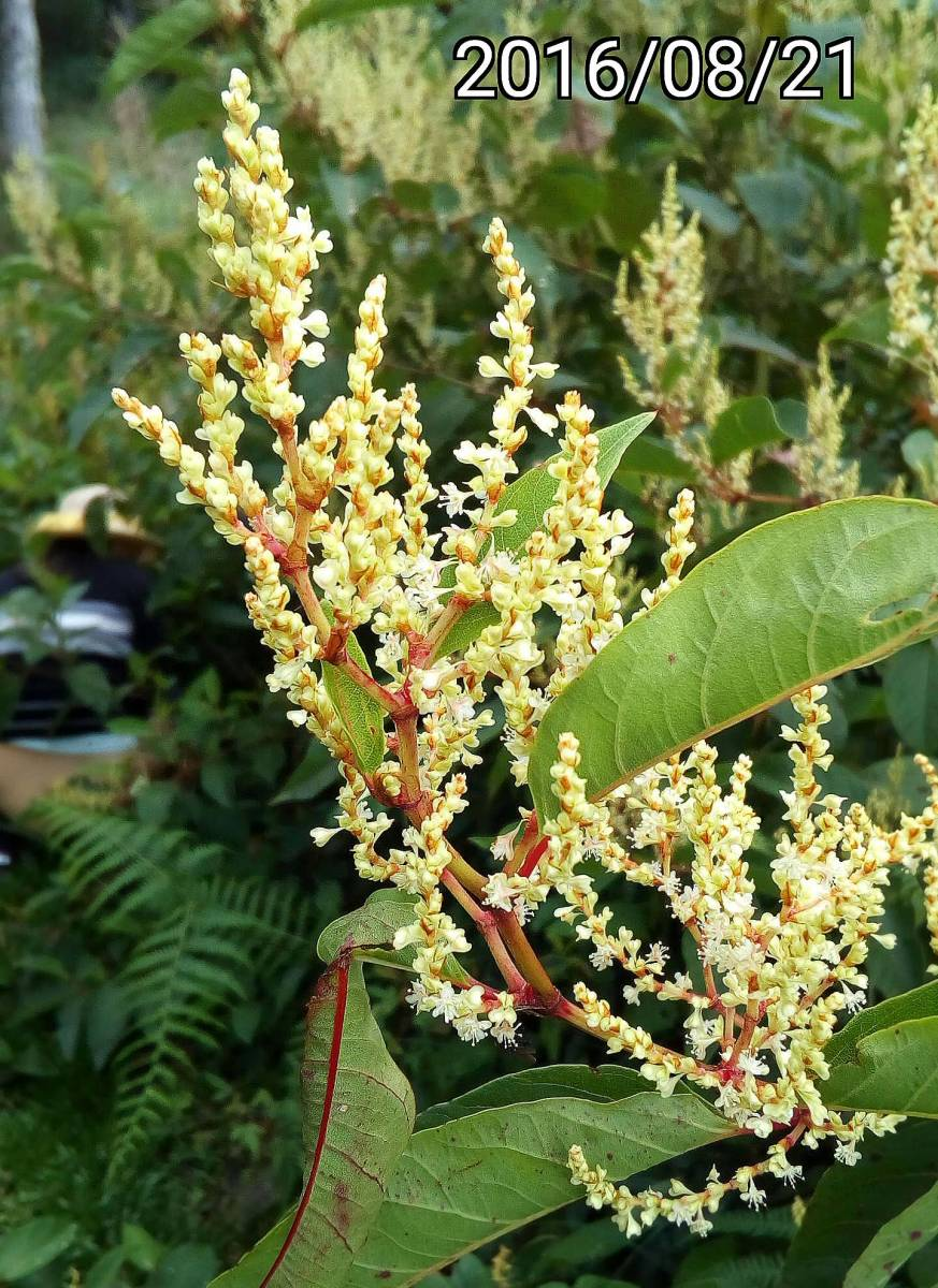 虎杖的花, flowers of Fallopia japonica, Japanese knotweed